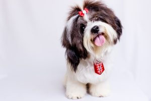 Shih Tzu puppy with his tongue out