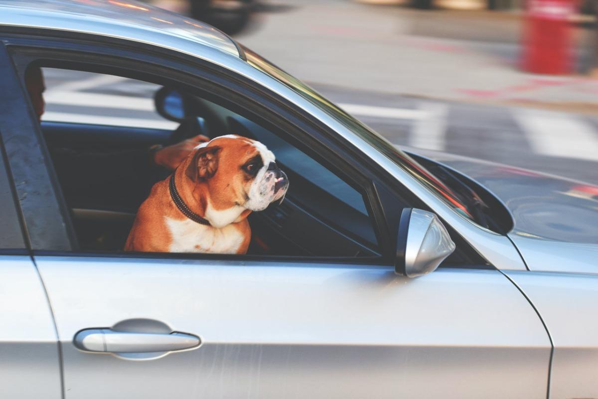 bulldog in a car